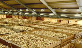 Wiskerke Onions droogt uitjes met restwarmte van Lamb Weston / Meijer